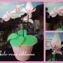 Belo roza ciklama