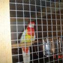rumena rozela