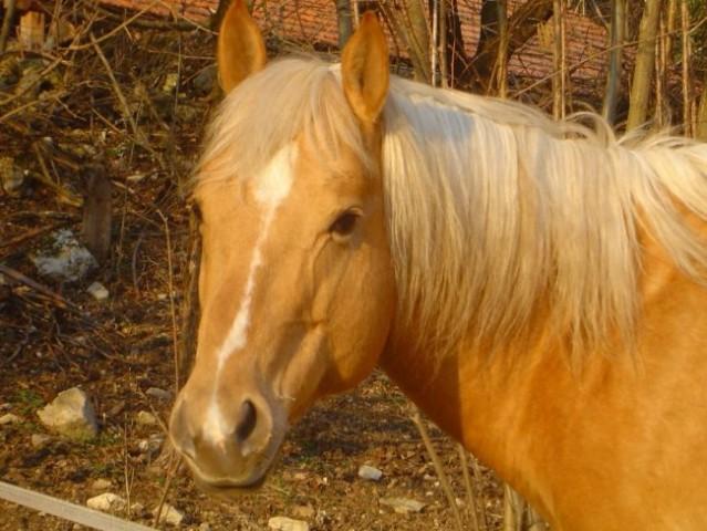 Zlati konjiček