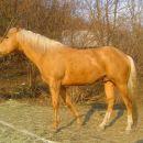 Quarter horse žrebec, Domingo Lone, 2001 letnik, palomino barve...