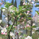 Jabolko ...koncem Maja...