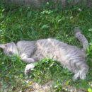 Maca drema