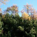 zlati jesenski macesni nad zelenim ruševjem
