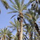 Tozeur - nasad datljevih palm