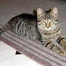 Sem lep tigrček Filip. Potrebujem prijazne lastnike, 031/847-553 ali 01/437-50-37   ODDAN