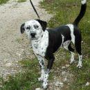 Prijazen kuža, verjetno mešanček z dalmatincem, star 2-3 leta, si želi v nov dom. 041/666-