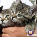 Odgovornim ljubiteljem živali podarim 8 tednov stare mucke - 2 samički in 2 samčka. Mucki