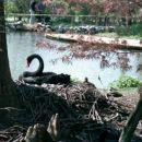Arboretum -črni labod vali