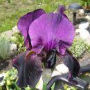Temno vijolična perunika