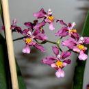Neko lepo čudo od orhideje :) - mix z oncidiumom