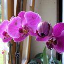 Orhidejca, ki sem jo