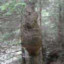 Preden končno ugledamo slap, se v neposredni bližini naš pogled ustavi še na drevesu z nen