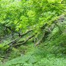 Da se res gibljemo skozi pragozd, nas opozori tudi to podrto drevo na poti, katerega veje