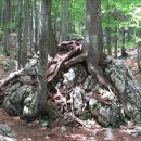 V drevesne korenine ujeta skala
