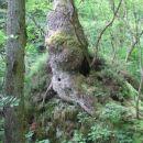 Debelo drevesno deblo