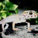 puscavski gekon