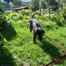 Chaya se ponižno vrača s sosedovega vrta.