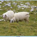 po celodnevni hoji vidiš v ovcah tudi surovino za jagenčka na žaru....