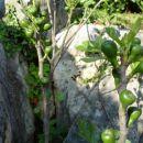 fige s plodovi pred listjem