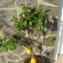 limona v polnem cvetu02008