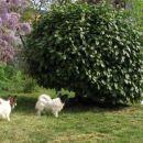 Skrivanje okoli grma