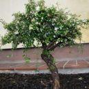 Panešlja - cotoneaster