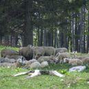 Ovčke se senčkajo:)