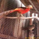 Zlati fazan,najraje v