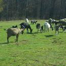 koze+ovce
