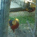 zlati fazani