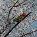papagaji agapornisi*nimfe*skobčevke