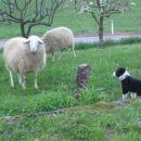 srečanje z ovcami