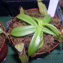 Nepenthes hamata