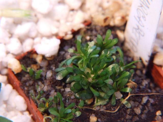 Genlisea margaretae {Madagascar} - foto