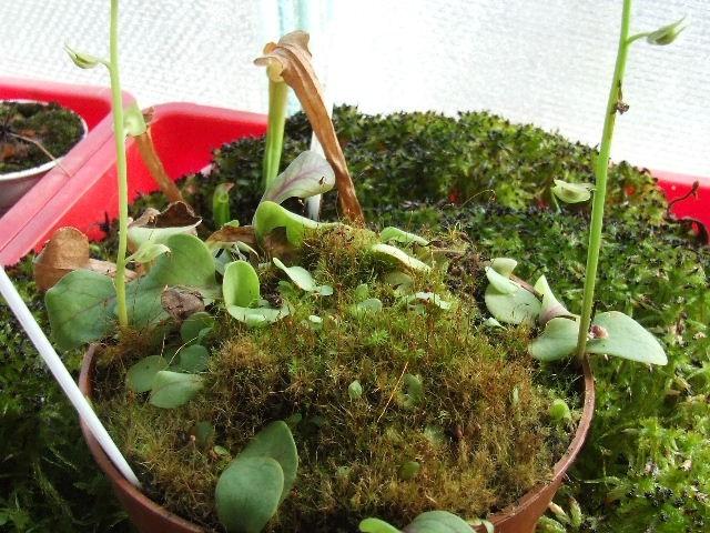 Utricularia 2 - foto