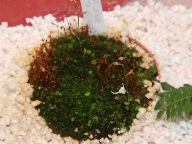Utricularia 2 - foto povečava