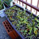 "Dionaea muscipula ""typical"""