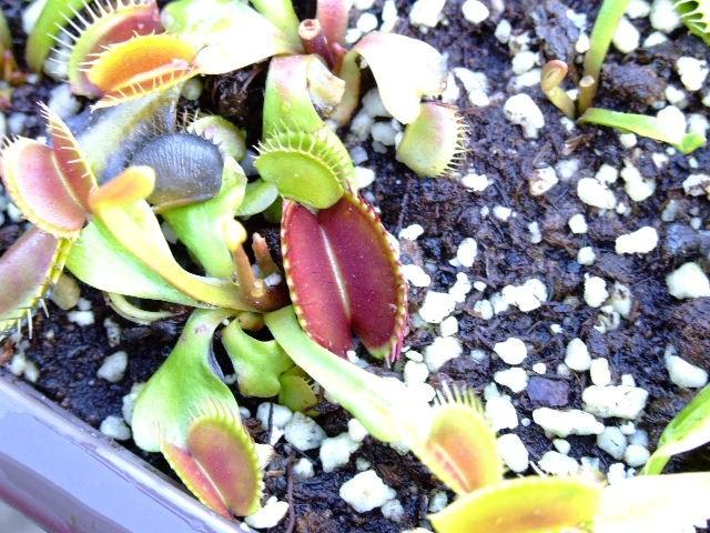 """Dionaea muscipula """"typical"""" - foto"""