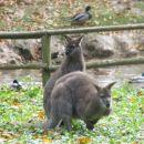 Mali kengurujčki