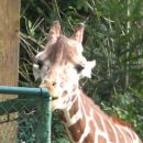 Ojej kako je tale žirafka lačna
