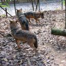 In prišli so nas pogledat vsi volkovi