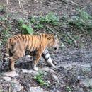 Velika muca :) Čudovit tiger