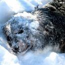 Sneženi pes Astor :))