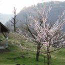 Tudi sadno drevje že cveti