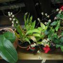 mini orhideja z 5 cvetnimi stebli
