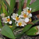 mini orhideja