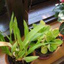 mini orhideja, ki žene kar 5 cvetnih stebel