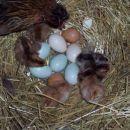 Kokoš štajerka z piščanci (večino od koko tudi prdajemo več informacij na ajakolicVmail386