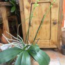 zeleno-rumena, cvetela bo na treh steblih, stara 4 leta