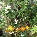citrusi 2008